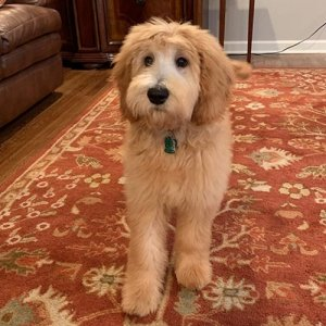 Goldendoodle-300x300