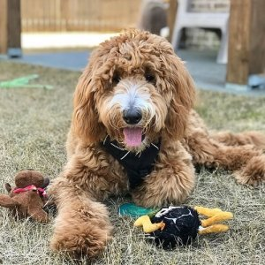 Goldendoodle-Toys-300x300