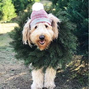 Goldendoodle-Wreath-300x300