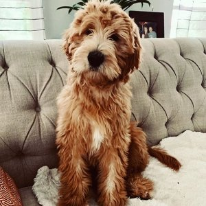 Goldendoodle3-300x300