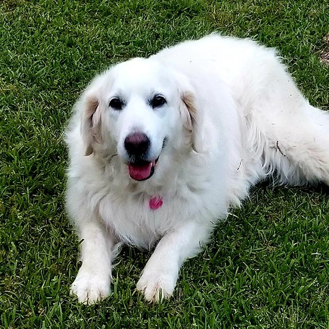 Lilly is an English Cream Golden Retriever. She is a beautiful representation of this breed. She is definitely stunning. She loves belly rubs and is well mannered in the house.