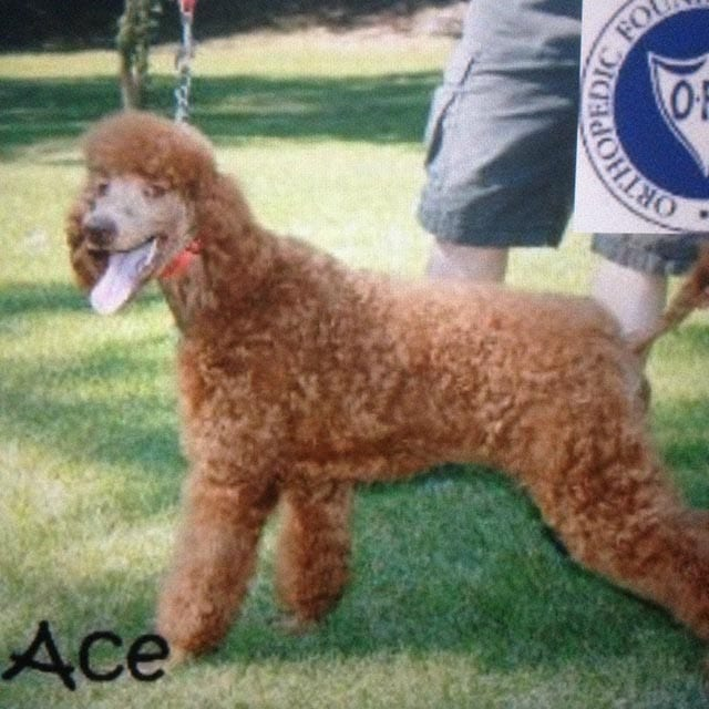 Ace is a Standard Poodle. He is on the smaller size. He is a lover and loves being around people. He is always up for a social event. He would enjoy being on a large piece of property.