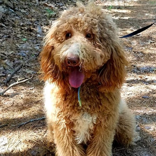 Ollie is a red Standard Parti Poodle. He is stunning with his white markings. He has a sweet, calm and loving personality. He loves chasing toys but always offers it to the other dogs.